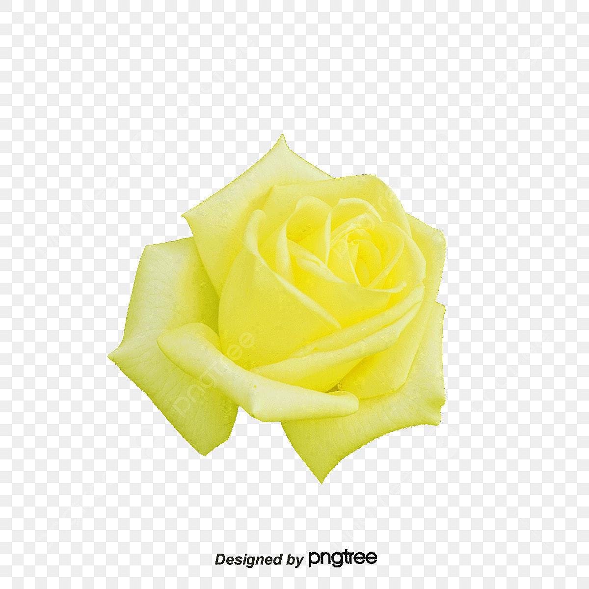 黄バラ イエローローズ ローズ 春のクリップ画像とpsd素材ファイルの無料ダウンロード Pngtree