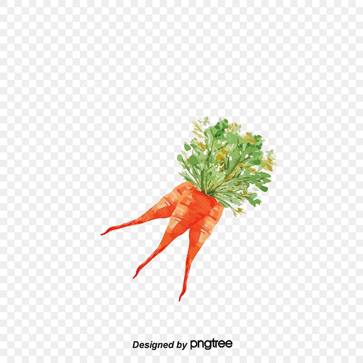 aquarelle de carotte radis carottes aquarelle png et