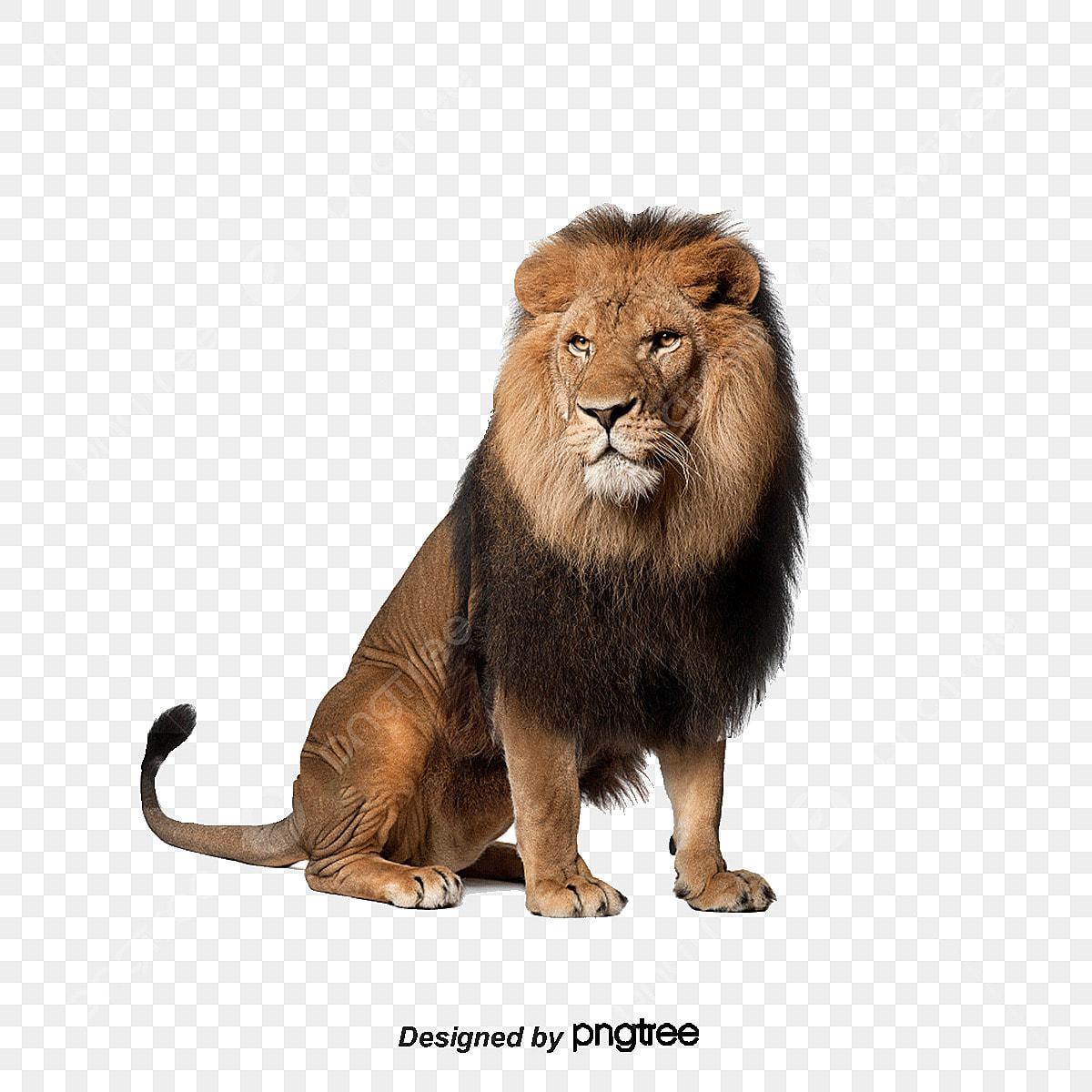 le lion animal le lion adultes fichier png et psd pour le t u00e9l u00e9chargement libre