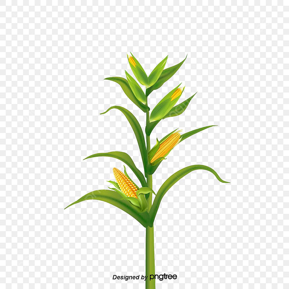 vector la siembra de ma u00edz planta cultivar fall png y