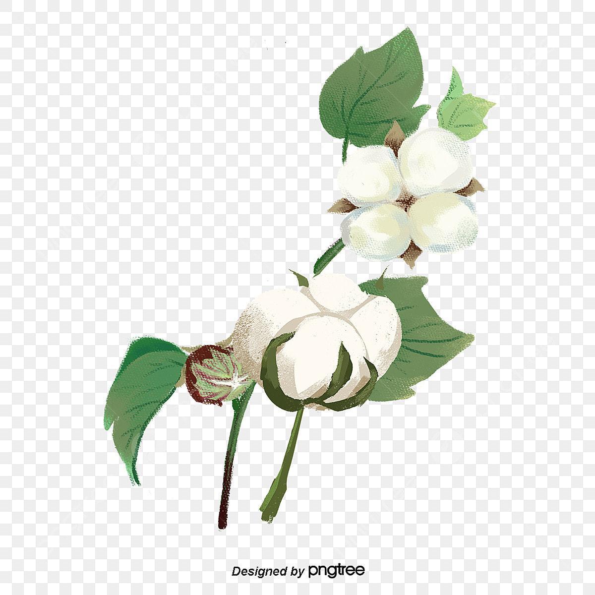 Branche Fleur De Coton une fleur de coton peigné de coton de photos, une branche