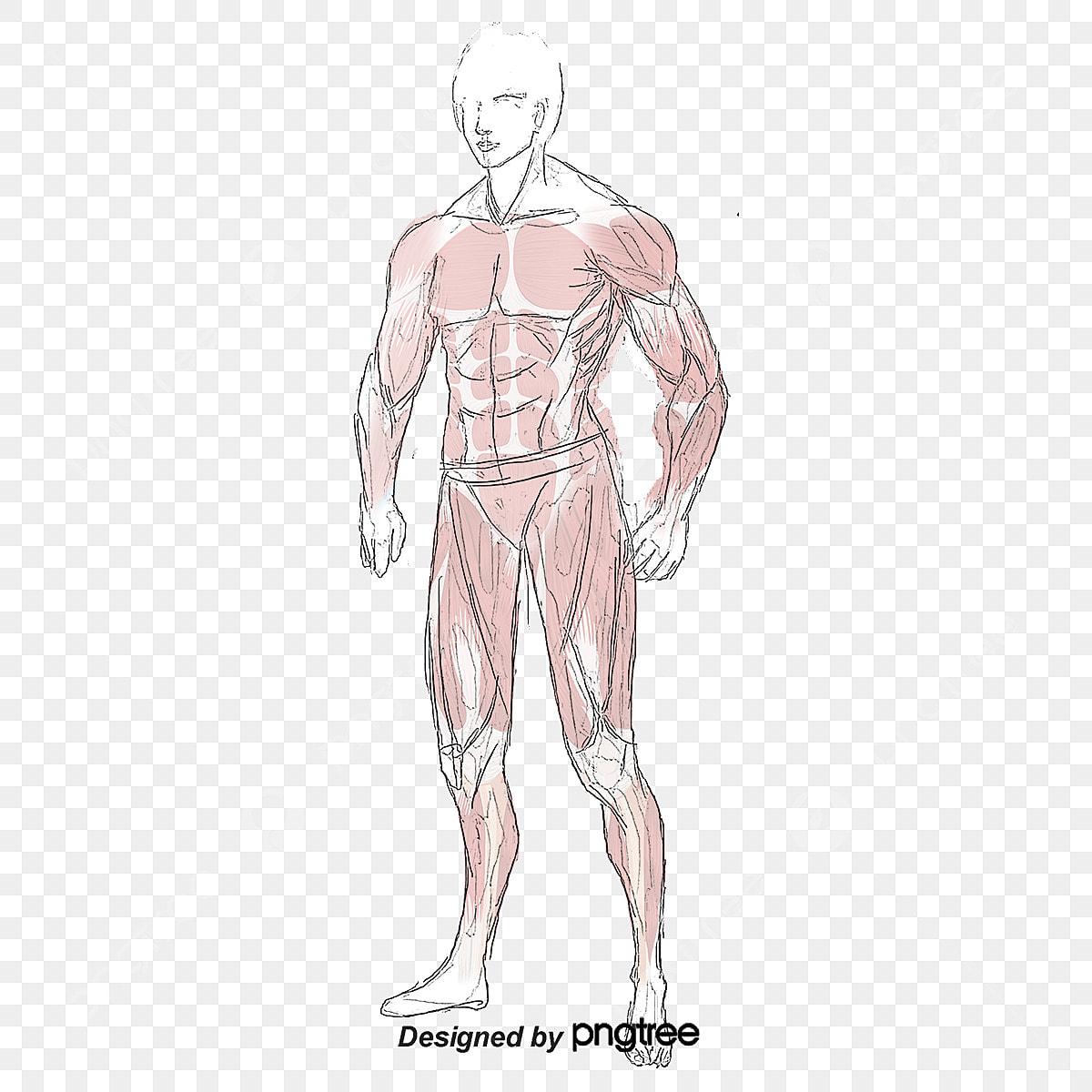 Cuerpo De Estructura Muscular Abdominal Chaleco Linea Sit