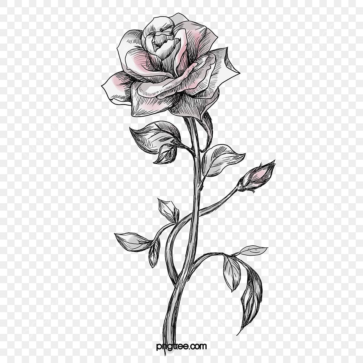 croquis de rose la rose roses les fleurs image png pour le