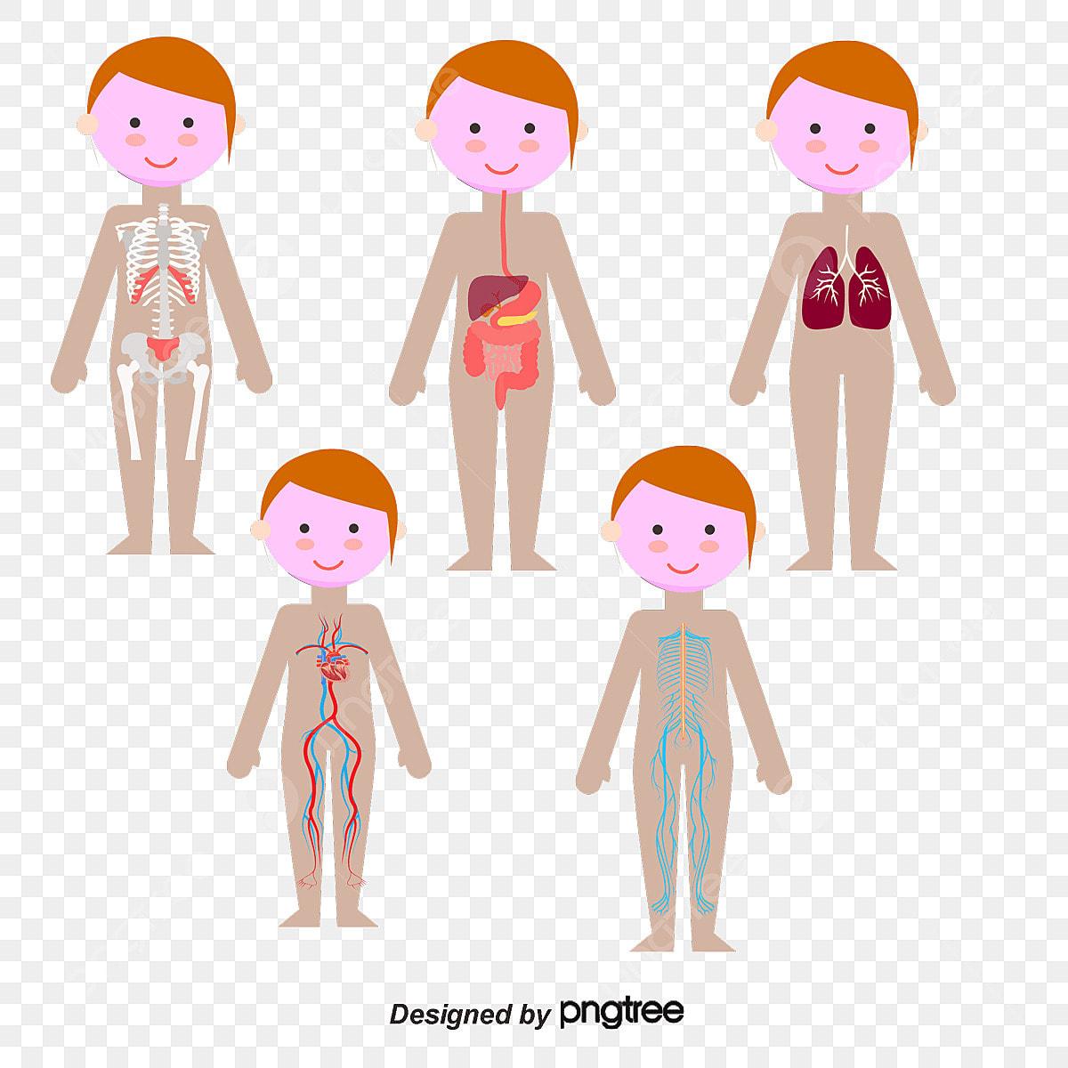 Body woman. Vector system clipart organ