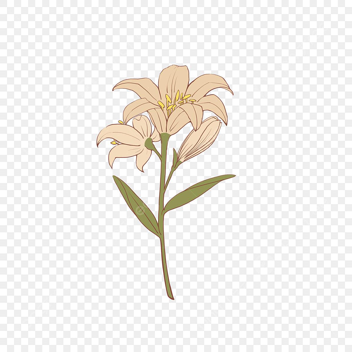 lis blanc lis blanc lily fleur fichier png et psd pour le t u00e9l u00e9chargement libre