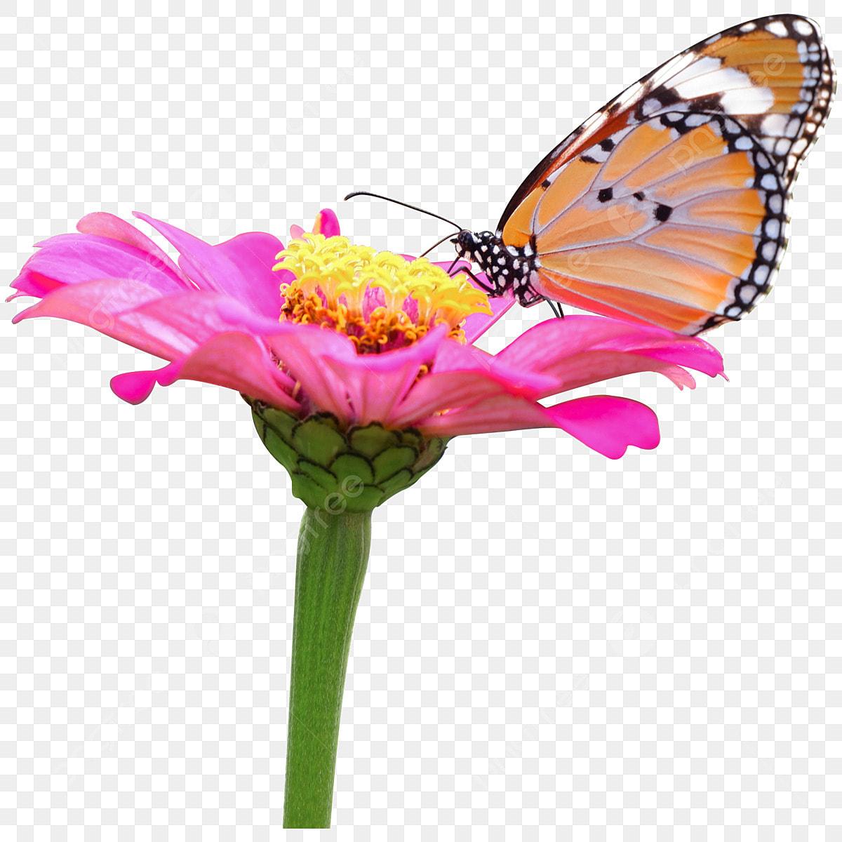 5cbf9a5900260 un papillon sur les fleurs s épanouissent mon verre pollen zinnia elegans  sucer Gratuit PNG et PSD