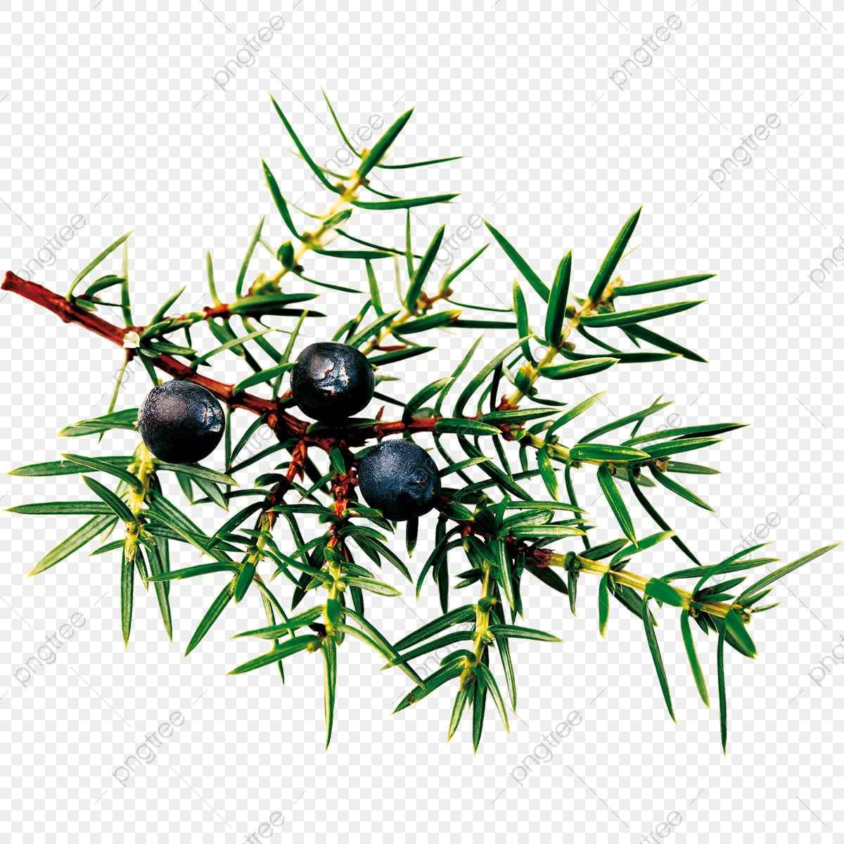 Juniper, Eps, Tree PNG and Vector with Transparent Background for