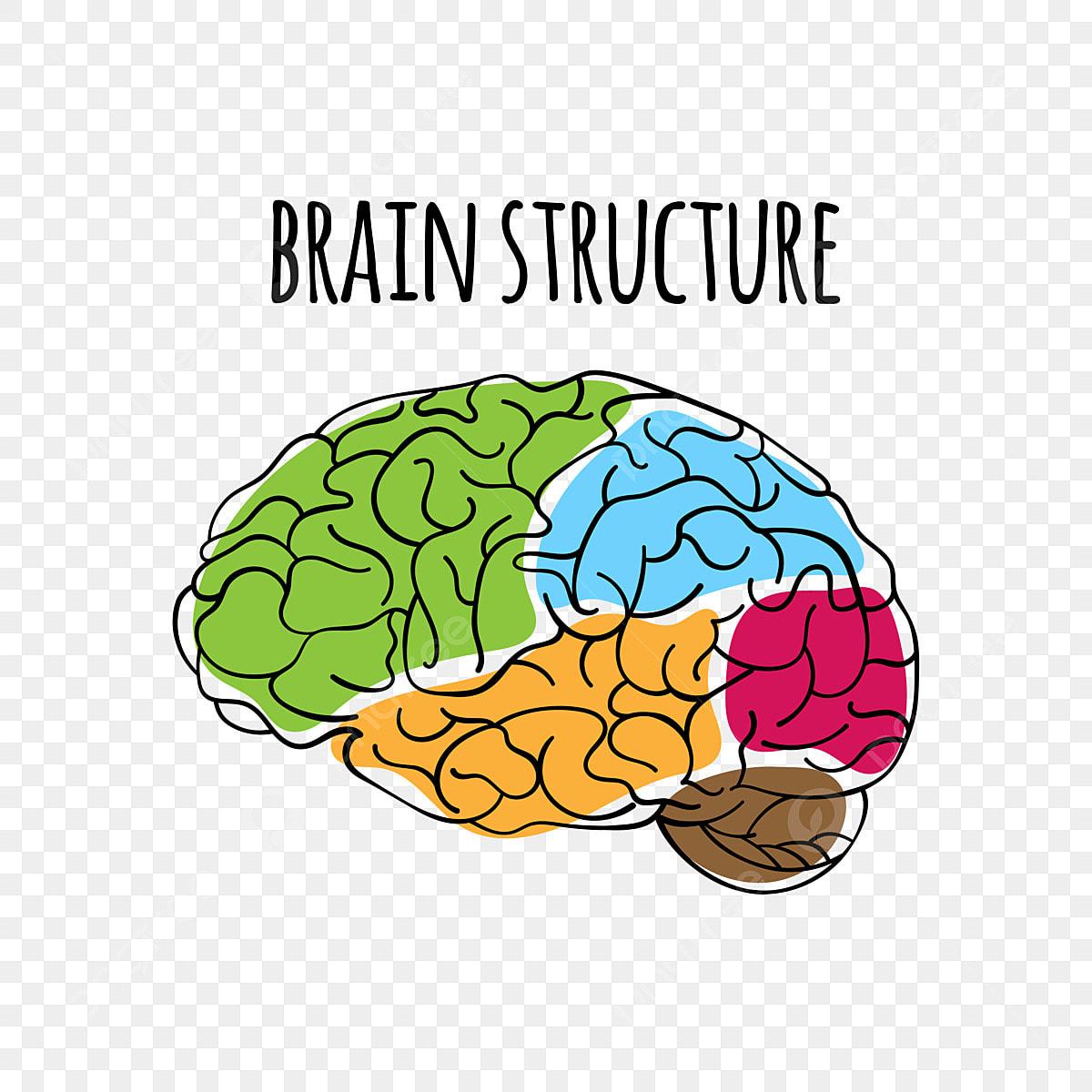 La Estructura Del Cerebro Humano Medicina Anatomia Del