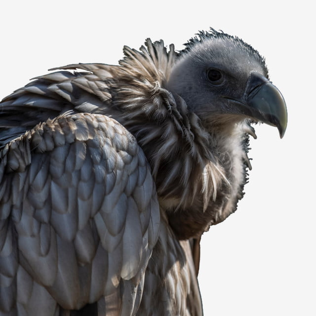 Vulture Bird Of Prey Png Bird Bird Of Prey Vulture Png Transparent Clipart Image And Psd File For Free Download