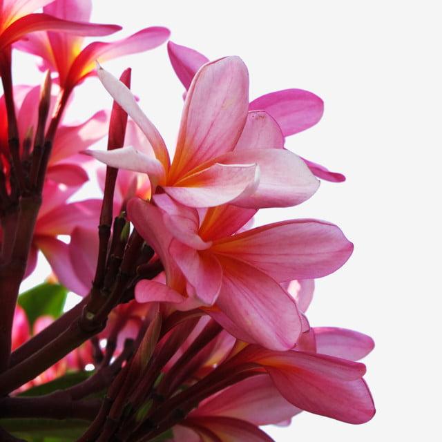 Fleurs De Frangipanier Rose Fond Transparent, Les Fleurs