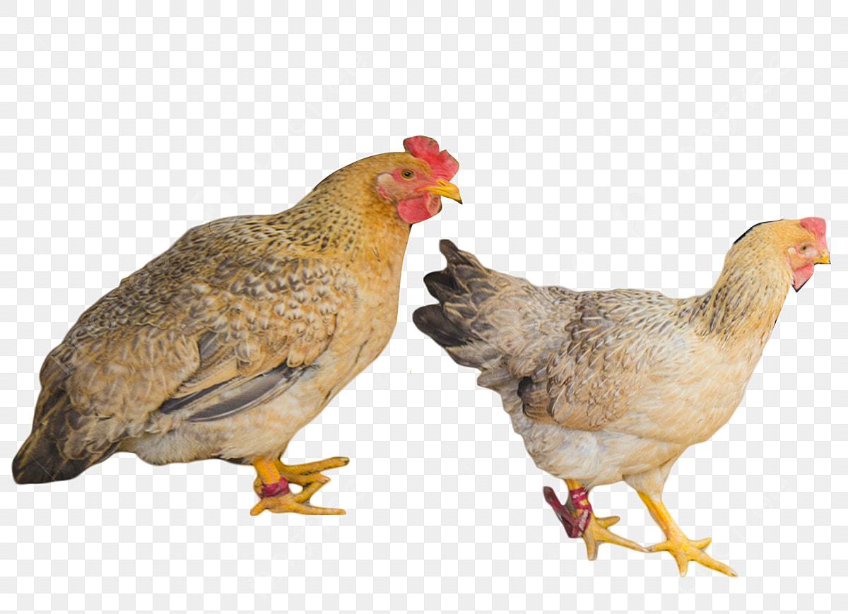 88 Gambar Ayam Sedang Bertelur HD
