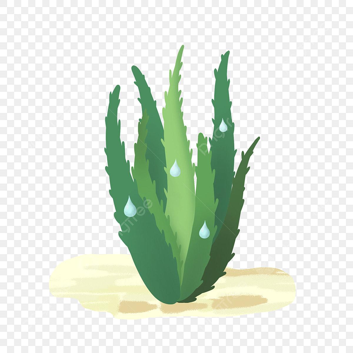 Modèle D Illustration De L Aloe Vera Humide Sol Plante