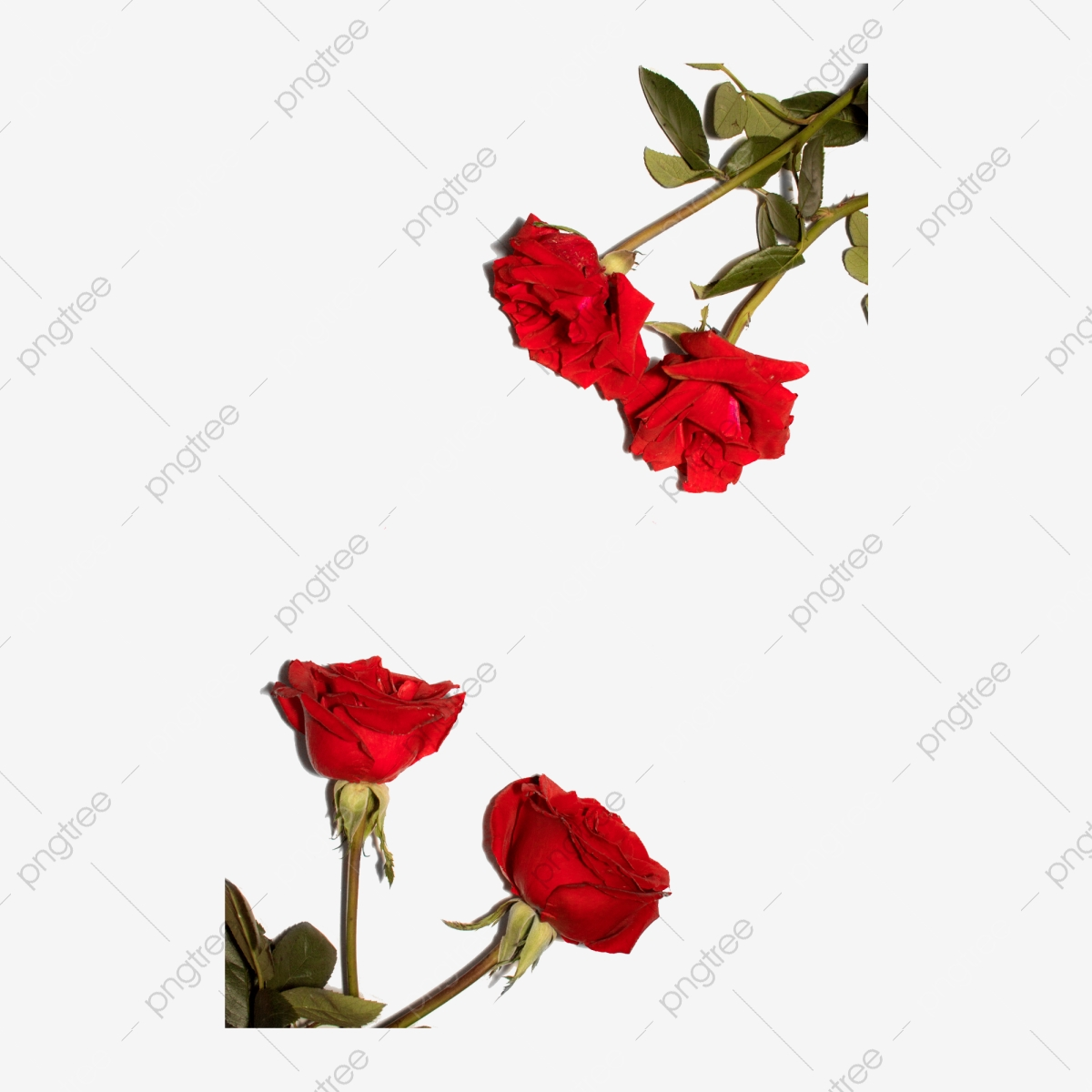 Rose Png Free Valentine Rose Red Rose Png Transparent Clipart Image And Psd File For Free Download