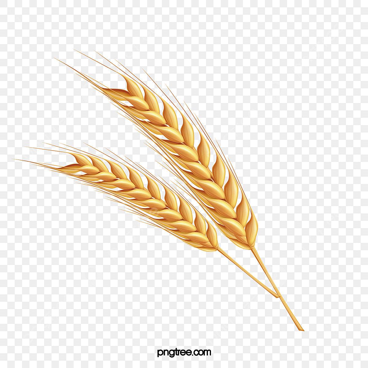 رسم كاريكتوري آذان القمح رسم سنبلة القمح القمح رائعة Png وملف Psd للتحميل مجانا