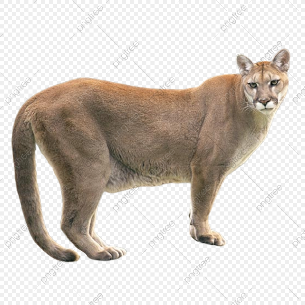 Wildlife Cougar Png Product Kind Wild Animals Cougar Png Transparent Clipart Image And Psd File For Free Download