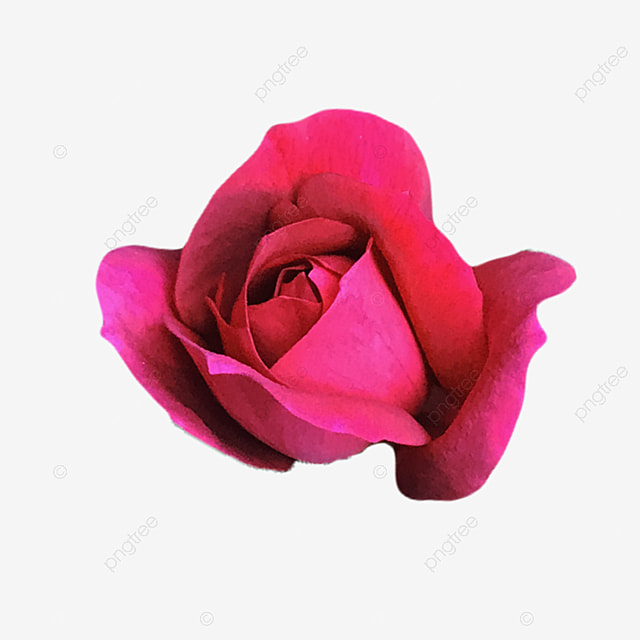 Little Red Rose Bud Photo Image, Flower Images Clipart, Flower, Flowers PNG and PSD