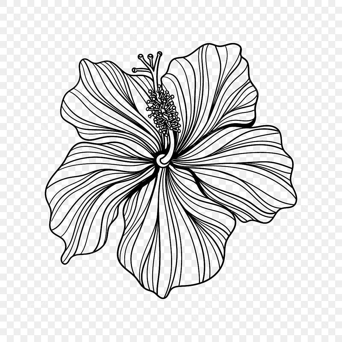 Gambar Ilustrasi Bunga Kembang Sepatu Yang Digambar Tangan Dengan Seni Garis Clipart Bunga Kembang Sepatu Kembang Sepatu Bunga Png Dan Vektor Dengan Latar Belakang Transparan Untuk Unduh Gratis