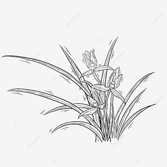 Gambar Orkid Bunga Tanaman Garis Hitam Dan Putih Garis Hitam Dan Putih Tanaman Bunga Png Dan Psd Untuk Muat Turun Percuma