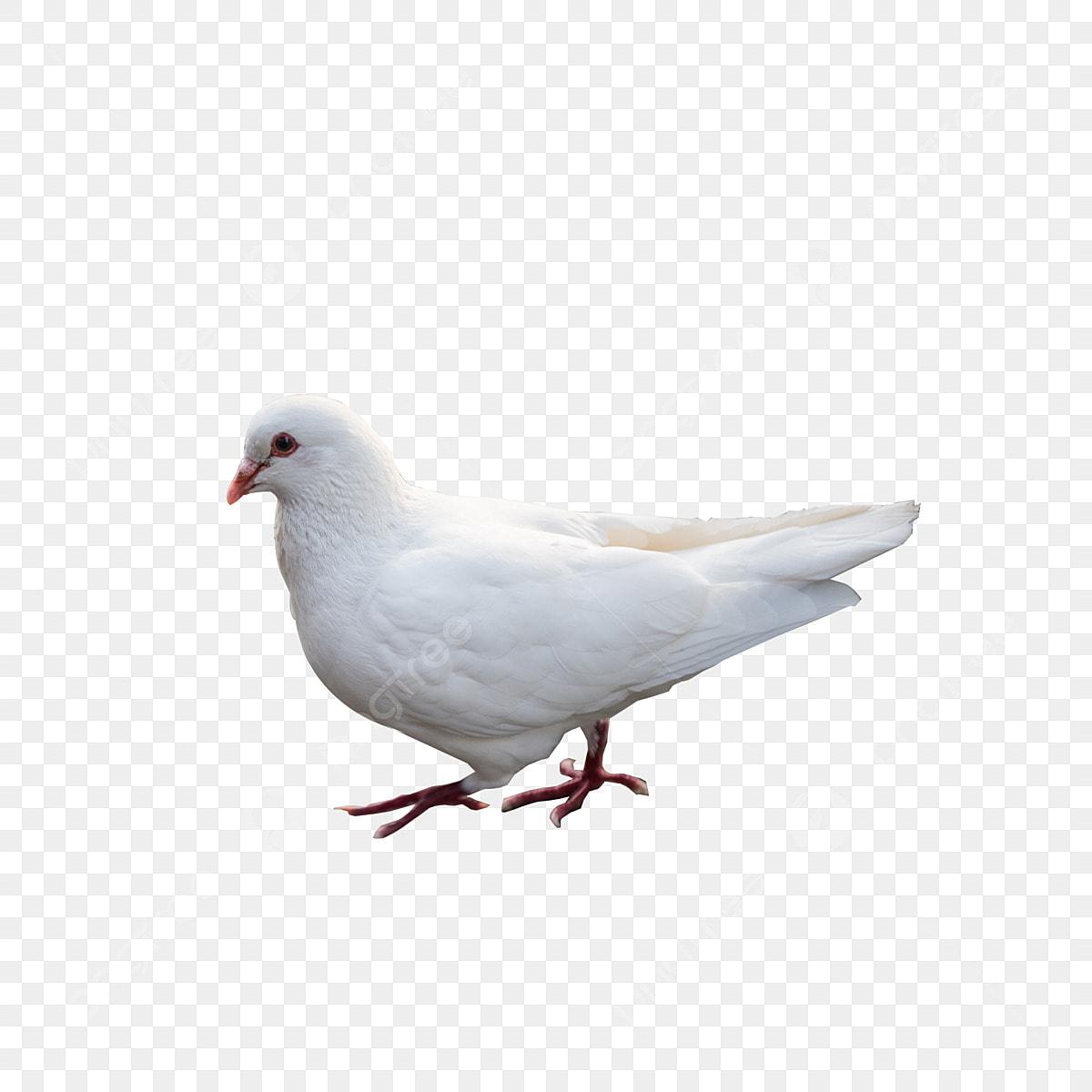 Gambar Merpati, Merpati, Burung, Merpati Putih PNG Transparan ...