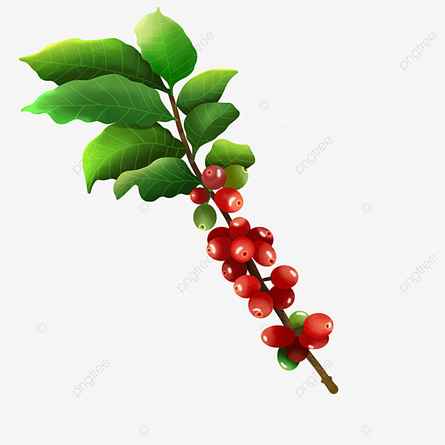 red coffee beans fruit vintage coffee leaves