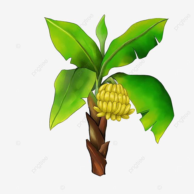 fruiting banana tree clip art