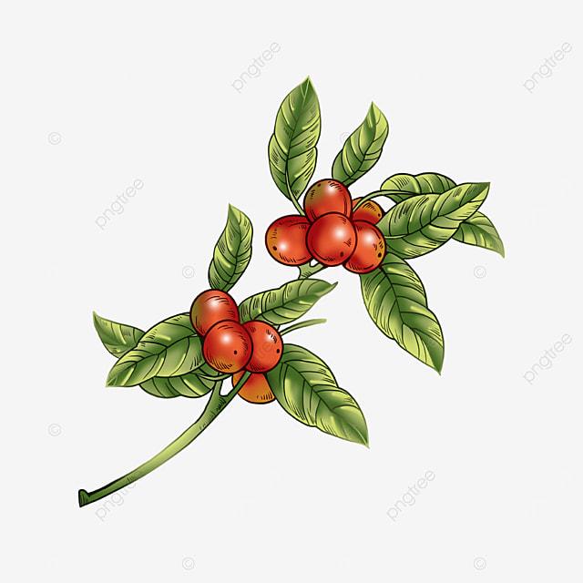 green coffee leaves