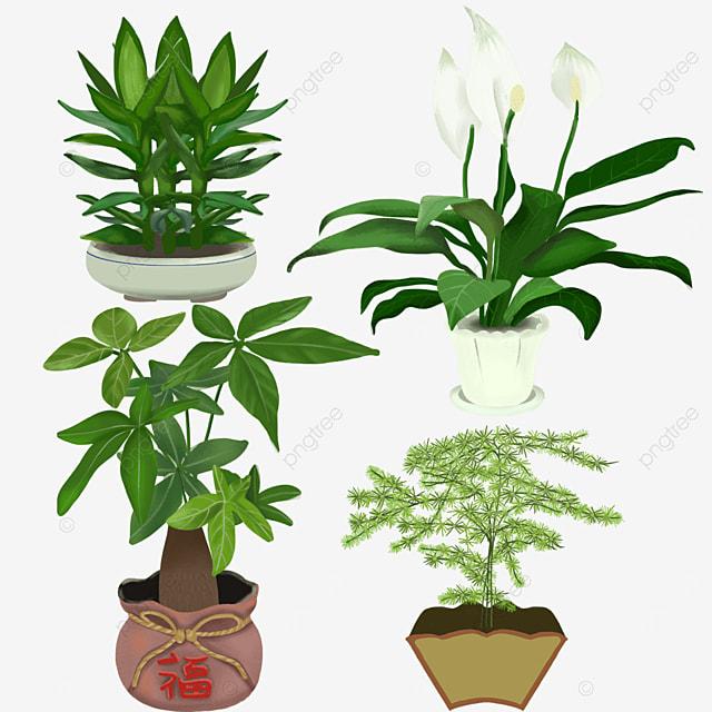 asparagus auspicious indoor plant potted green plants