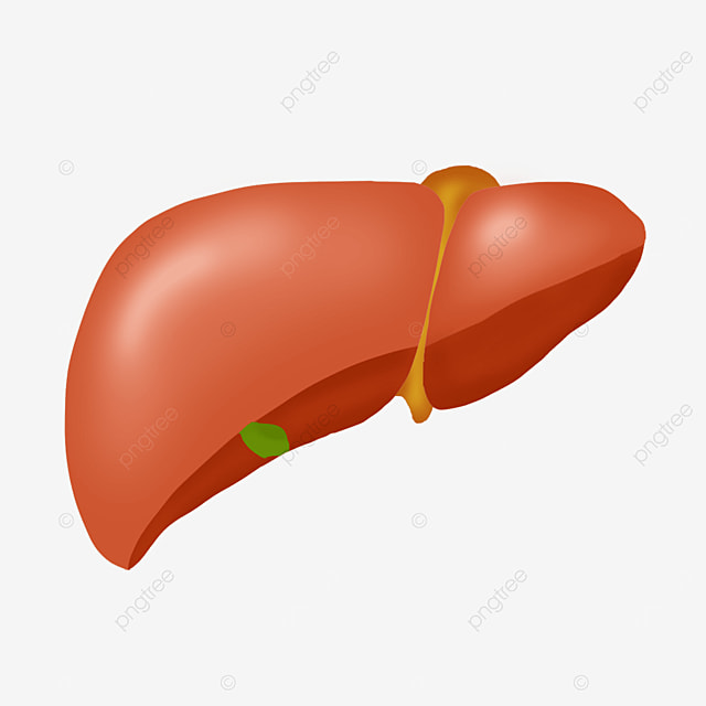 stereo orange red liver clip art