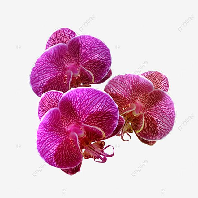 Gambar Elemen Bunga Orkid Yang Cantik Bunga Bunga Yang Cantik Orkid Beauty Orkid Merah Jambu Png Dan Psd Untuk Muat Turun Percuma