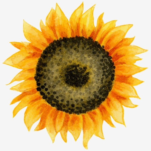 Watercolor Sunflowers Png, Vector, PSD, And Clipart With