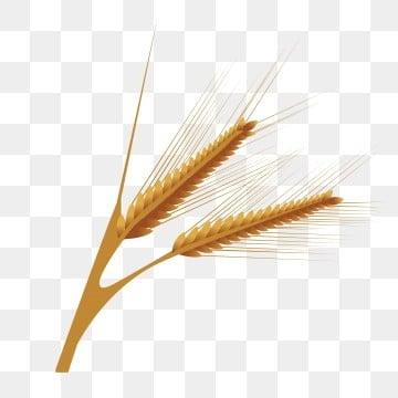 الخريف القمح Png الصور ناقل و Psd الملفات تحميل مجاني على Pngtree