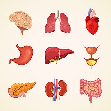 Body organs. Internal png vector psd