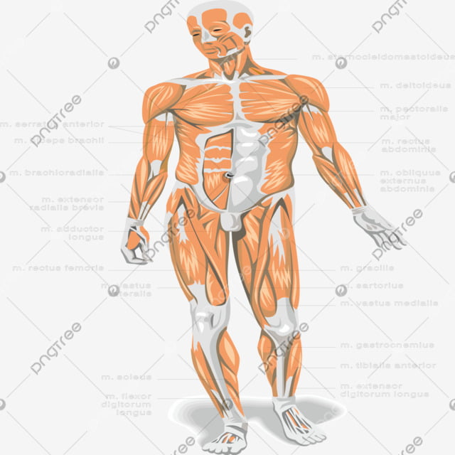 human anatomy medicine anatomy hospital png and vector with transparent background for free download https pngtree com freepng human anatomy 4867075 html