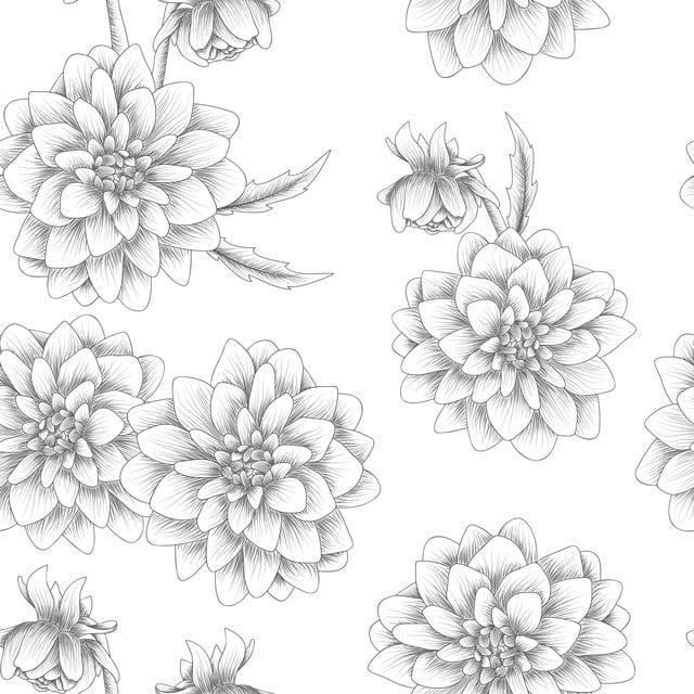 Menakjubkan 27 Bunga Dahlia Hitam Gambar Bunga Hd