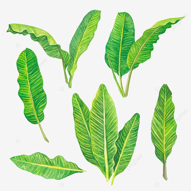 cat air hijau daun pisang mengatur koleksi bunga tropis alami tropis hawaii tropis png dan vektor dengan latar belakang transparan untuk unduh gratis cat air hijau daun pisang mengatur