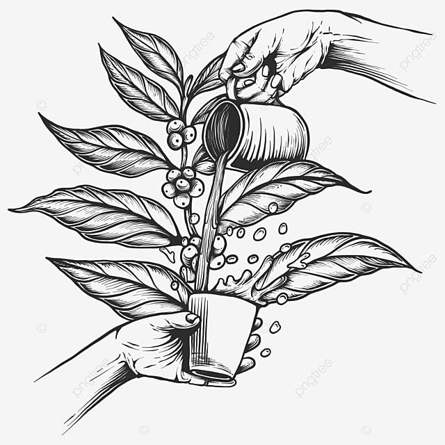 kopi percikan cabang pohon kopi antik gaya terukir pertanian antik seni png dan vektor dengan latar belakang transparan untuk unduh gratis kopi percikan cabang pohon kopi antik