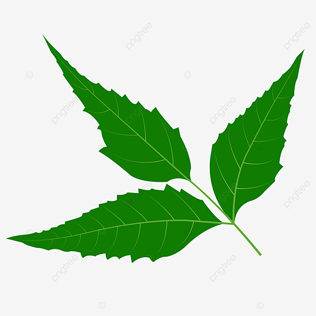 Neem Leaf Neem T Harbal Neem Leaf Clipart Neem Herb Png And Vector With Transparent Background For Free Download 450 x 470 jpeg 25 кб. neem leaf neem t harbal neem leaf