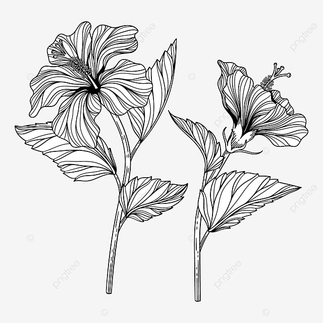 Ilustrasi Bunga Kembang Sepatu Yang Digambar Tangan Dengan Seni Garis Bunga Floral Mekar Png Dan Vektor Dengan Latar Belakang Transparan Untuk Unduh Gratis