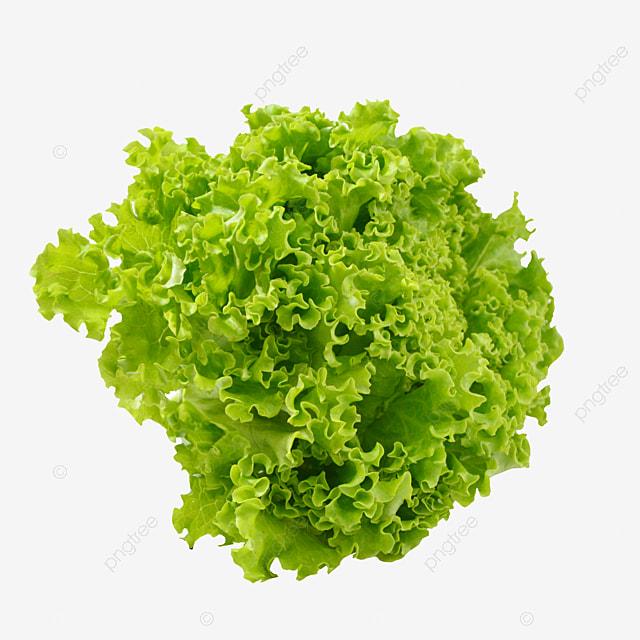 Lettuce Clipart Free PNG Image|Illustoon