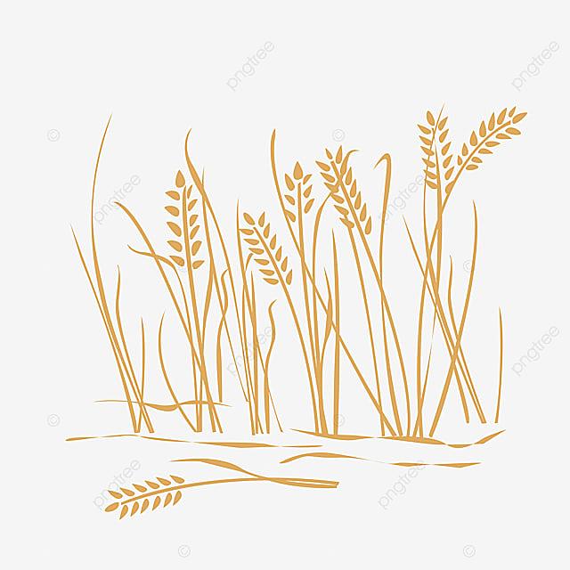 Gambar Sawah Padi Bulir Padi Padi Nasi Padi Png Dan Vektor Dengan Latar Belakang Transparan Untuk Unduh Gratis