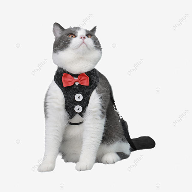 black and white adult cat in clothes