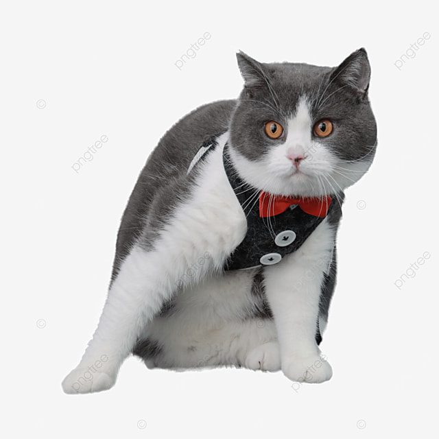 black and white adult cat with bow knot