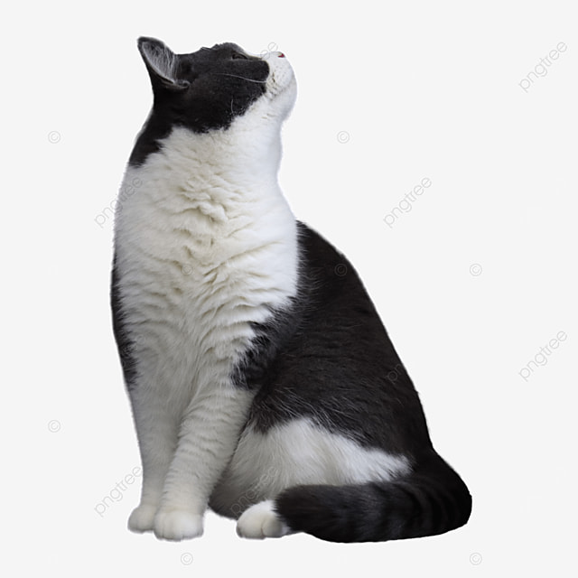 black and white shorthair cat looking up