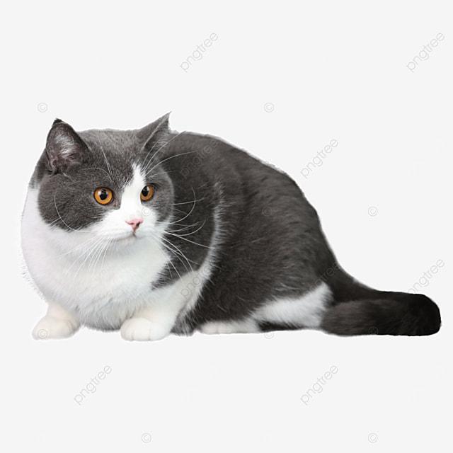squatting orange eyed adult cat