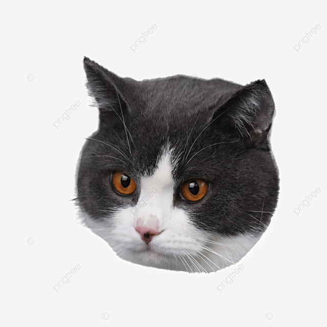 yellow eyed british shorthair cat head