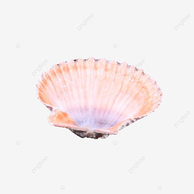 beach pink seashell object