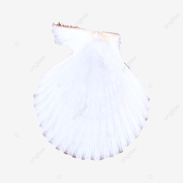 ornament marine shell on white