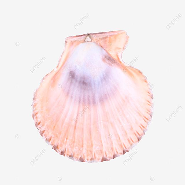 summer coast pink seashell