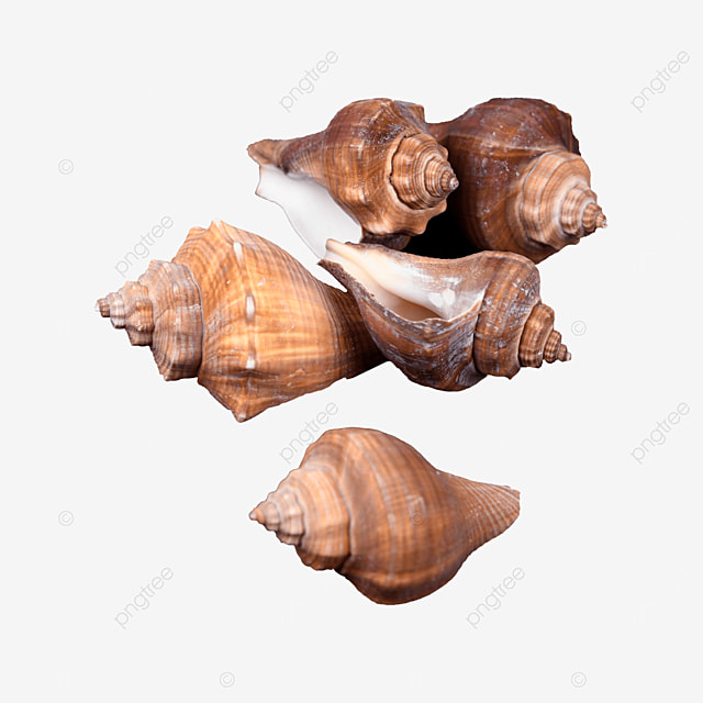 marine seashore shell conch