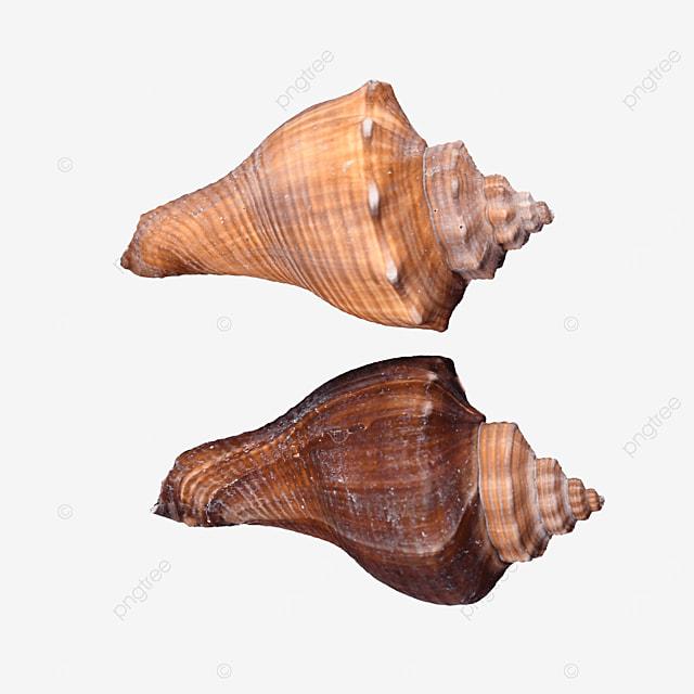 photographic illustration marine shell conch